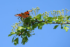 The Survivor (SteveJM2009) Tags: peacock butterfly aglaisio hawthorn blossom bluesky bites pecks sun light colour spring april 2017 bournemouth dorset uk stevemaskell explored