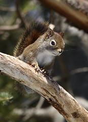 IMG_0754 Écureuil roux, Sainte-Hedwidge (joro5072) Tags: animal nature écureuil squirrel