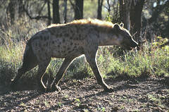 Gevlekte hyena (Rob van t Padje) Tags: flickr zoogdieren phalaborwa zuidafrika zaf