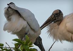 Wood Storks (Nick Scobel) Tags: wood stork mycteria americana florida everglades threatened endangered species wildlife