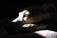 When you look me in the eyes 👀 (francescacarriero) Tags: eyes dog pet animal brown occhi italy puppy luciano gianni shadow black blackandwhite vsco vscopet nofilter nikon canon frame