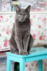 IMG_5255 (murkla_la) Tags: cat graycat gray russianblue moussie