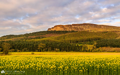 Broighter Gold Binevenagh. (MNM Photography 2014) Tags: broightergold broighter rapeseed oilseedrape rapeseedfield agriculture farming biofuel broglascofarm fields fieldsofgold gold yellow flowers myroe kanefamily sunset clouds cloudysky binevenagh binevenaghmountain aonb benevenagh benevenaghmountain limavdy countyderry northernireland ulster forest woodland woods rockface canon canon5dmkiii canonef24105mmf4lisusm leefilters leelandscapepolarisingfilter
