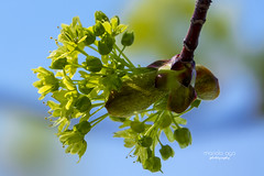 life ... (mariola aga) Tags: spring nature tree branch bud flowers life closeup maple thegalaxy
