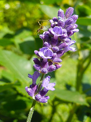 ▲ ✪►•microlicious•◄✪▲ (MissAna(Thank you kindly for over 188K View's!)) Tags: lavender plant purple nature insect
