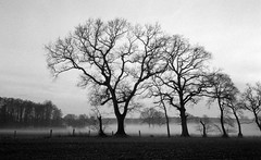 Warden of dreams (Rosenthal Photography) Tags: bäume asa400 pflanzen 20170204 ff135 nebel eichen natur felder landschaft ilfordhp5 35mm olympus35rd analog bw nature landscape trees mist fog olympus ilford epson v800