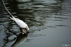 White Bird (Sajjat Hossain Simul) Tags: bird animel natuer