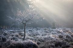 Catching Rays (ChrisDale) Tags: greatbritain chrisdale chrismdale edwinstowe england forest frost haze mist nottingham nottinghamshire notts photography sherwood sherwoodforest sun trees uk woods