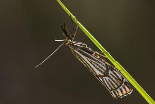 Chrysocrambus craterellus
