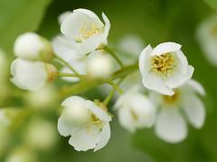 In bloei..........Explore (Geziena) Tags: bloeien bloesem bloem natuur kelk lx100 closeup