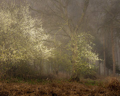 Spray (jellyfire) Tags: eastanglia eastofengland fauna forest greatbritain landscape landscapephotography mood sonnartfe55mmf18za sony sonya7r suffolk woodland atmospheric blossom branches broadleaf copse countryside deciduous ecology flowers fog foliage green growth knettishallheath leaf leaves leeacaster life mist norfolk plants rural serene spring suffolkwildlifetrust trees trunk unitedkingdom woods wwwleeacastercom zeiss
