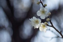 IMG_2382crs (kenta_sawada6469) Tags: flower flowers spring nature macro colors japan ume japaneseapricot japanese