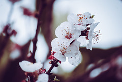 apricot tree blossom (vertèbre) Tags: apricot tree blossom arbol damasco flor prunusmume primavera spring santiago chile nature flower bloom life nikond60 nikon
