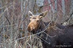 "Ole Mildred (jimgspokane) Tags: moose wildlife forests countryroads washingtonstate ""nikonflickraward"""