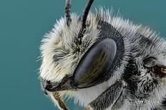 Bee (Karlgoro1) Tags: canon macro photo mpe 65mm f28 eye eyes zerene stacker insect focus stack closeup bug macrolife animal background bee sony alpha a6300 mirrorless digital camera ilce6300