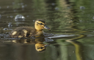 Mallard duckling reflection