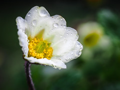 Mountain avens (Jens Flachmann) Tags: dryas dryasoctopetala bloom blooming eightpetalmountainavens florescence flower flowering mountainavens whitedryad white germany bielefeld nature plant