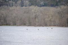 American white pelican (wonder_al) Tags: saukcity wisconsin wisconsinriver pelican pelicans bird birds river americanwhitepelican