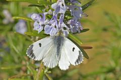 Anthocharis cardamines - Orange Tip, female (d.hunt67) Tags: anthochariscardamines orangetip butterfly pieridae herts
