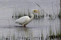 Great White Egret RSPB Leighton Moss (ChrisPy63) Tags: sigma nikond7200 nikon rspbreserves leightonmoss england lancashire water egret rarebirdsofbritain uk greatwhiteegret