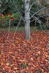 IMG_3178a (ManFromOz) Tags: ©geoffsmith gemaxphotographics autumn blackheath bluemountains autumnleaves