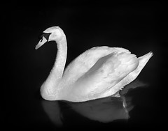 Gliding (Dave_Davies) Tags: swan roach park cardiff wales spring reflection water bird mono