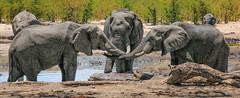 Holding trunks (rachelsloman) Tags: elephant kwai botswana trunk wild animal