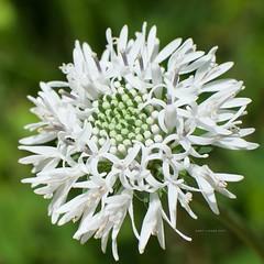 Asteraceae (HartLinker) Tags: barbarasbuttons whiteflower whitewildflowers asteraceae wildflowers wildflower ncbotgarden