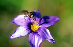 Tasting the tip (TJ Gehling) Tags: insect diptera fly syrphidae hoverfly plant flower asparagales iridaceae blueeyedgrass californiablueeyedgrass sisyrinchium sisyrinchiumbellum ohlonegreenway elcerrito