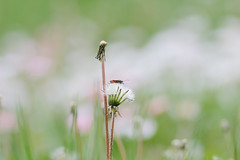 On the Meadow (Inka56) Tags: dandelions bug insect oldlens jupiter21m meadow pastel