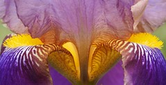 Firenze - Giardino dell'Iris (Bardazzi Luca) Tags: flowers green luca bardazzi desktop wallpapers image olympus em10 micro four thirds 43 macro colori colore flora natura foto flickr photo picture internet web fiori giardino