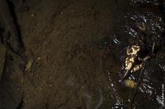 Hypsiboas picturatus froglet (Sakki-Duran) Tags: froglet frogs frog amphibia amphibian ranas picturatus hypsiboas nature wildlife herps anfibios rana naturaleza forest jungle selva animals chocó ecuador