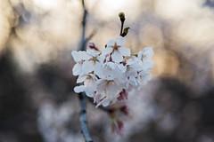 Cherry Bokeh D7C_4011 (iloleo) Tags: bokeh cherryblossom highpark toronto spring nature flowers nikon d750 canada sakura