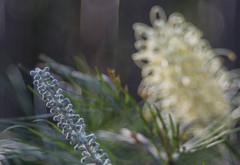 Bud and flower (OzzRod) Tags: sony nex5t meyeroptikgörlitztrioplan100mmf28 plant flower grevillea closeup