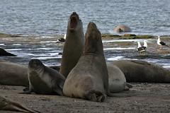 Lobos marinos 4 (isabel muskiz) Tags: lobos marinos animales animals argentina sea lions puerto madryn peninsula valdes mar patagonia