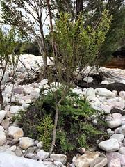 Baby Huon pine. Old River. Port Davey, Tasmania.