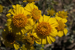 Brittlebush bloom along the Esperero Trail, Sabino Canyon (Distraction Limited) Tags: sabinocanyon coronadonationalforest santacatalinamountains catalinamountains catalinas nature tucson arizona sabinocanyon20170322 enceliafarinosa brittlebush goldenhills hierbadelvaso cotx incienso encelia flowers wildflowers espererotrail sabinocanyonrecreationarea