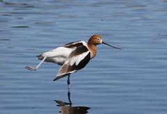 American Avocet Streching (fethers1) Tags: belmarparklake belmarpark coloradowildlife bird shorebird