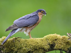 "Sparrow hawk (Male) (coopsphotomad) Tags: sparrowhawk hawk grey blue red beak claws perch moss bird raptor avian animal wildlife nature ""bird prey"" bokeh outdoor woodland british wild canon 1dx 500mm"