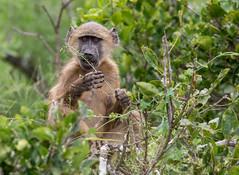 That tastes delicious (jaffles) Tags: southafrica südafrika krüger kruger np nationalpark wildlife natur nature olympus safri baboon chacmababoon bärenpavian feeding explore inexplore