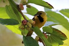 9881 Orchard Oriole (Icterus spurius) (andykjordan) Tags: orchardoriole icterusspurius high island texas audubon smith oaks bird