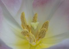 Frühling (ulrike.heck) Tags: ulrikeheck tulpe tulip gelb yellow nahaufnahme macro stempel pollen rosa