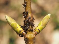 Ants farming (michaelmueller410) Tags: macro makro ant ants lice green spring branch knospen bud buds ameisen läuse melken