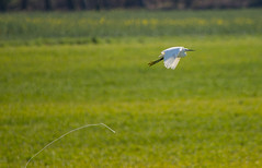 Egret needed a wee (CWT-Photography) Tags: egret bird wildlife flight wee inflight low white flying nature amazing beautiful photography nikon