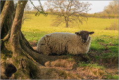 Contented (Mabacam) Tags: 2017 surrey dorking polesdenlacey nationaltrust edwardian estate spring nature outdoors farm field sheep pastoral
