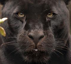 jaguar mowgli  Artis BB2A4005 (j.a.kok) Tags: mowgli jaguar pantheraonca emmen wildlands kat cat mammal zoogdier predator zuidamerika southamerica black zwart
