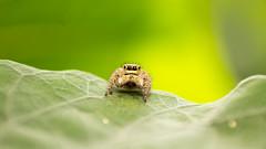 Jumping spider (shardartarikul) Tags: ngc macro insect spider