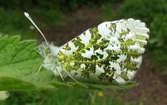 Orange tip - Anthocharis cardamines (Camerar) Tags: butterflies butterfly insect orangetip anthochariscardamines pieridae uk