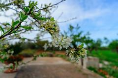 Prunus domestica (FrancescoPalmisano) Tags: prugna prugno prunusdomestica susina bloom fiori floweringtrees plum plums primavera spring tree