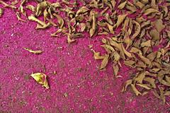 Scent (leo.vcastro) Tags: jambo syzygiummalaccense syzygium malaccense red vermelho tree árvore pink rosa corderosa brazil minas minasgerais mg leaves leaf folha folhas